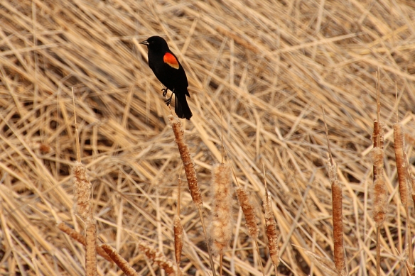 The noisy herald of spring is back.  Red-winged blackbird males were setting up territories in the large marsh that encircles Eagle Lake.