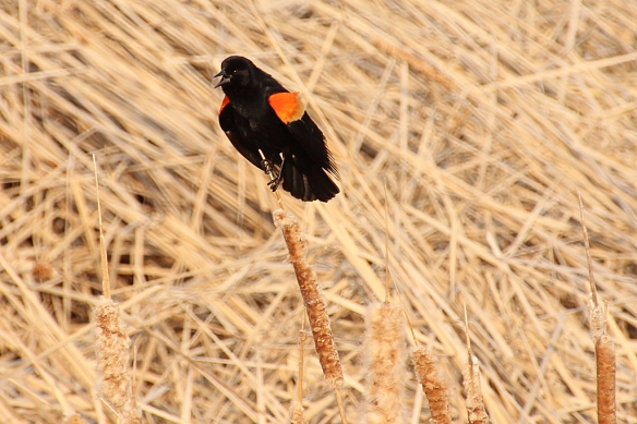 This isn't called a red-winged blackbird for no reason -- the males  use that flashy red, orange and yellow shoulder epaulet to let other males know they mean to stake out an area as their territory.