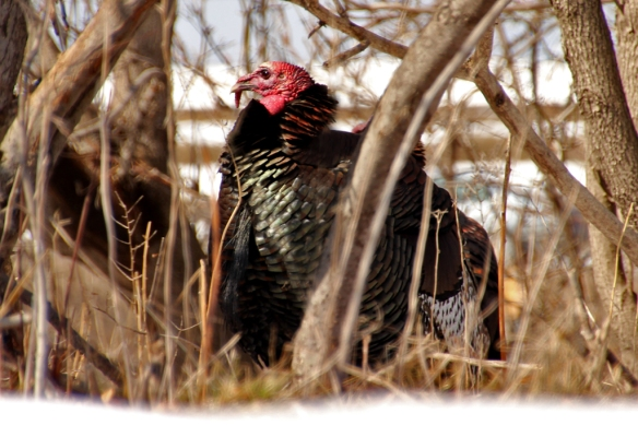 The males, with their red wattles and glossy black and brown plumage stand out more conspicuously -- for good reason.