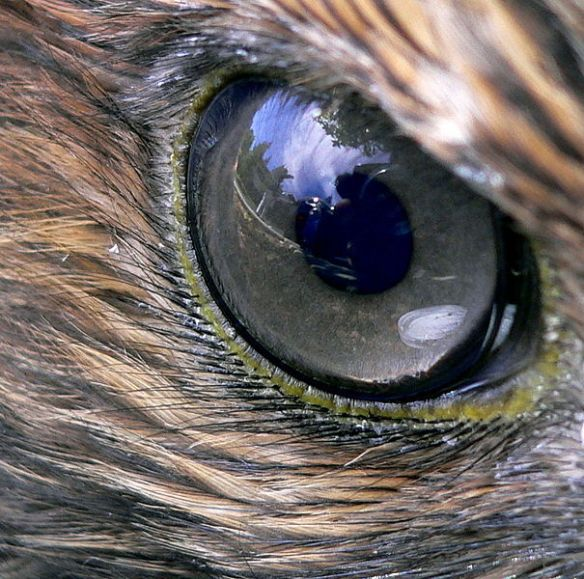 Hawk-eyed, a synonym for visual acuity, is a product of high density of photoreceptors and two (not one) foveas for focusing incoming light.
