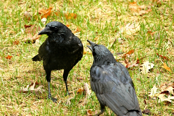 Begging behavior from last year's offspring?  At first the older bird ignores this youngster.