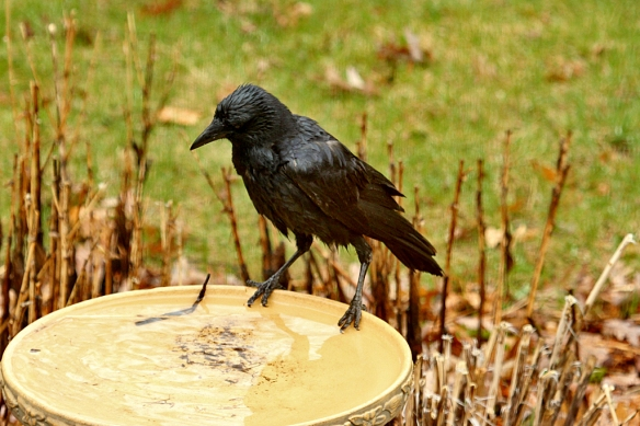 One crow picked up some straw from the garden, hopped to the bird bath, and dropped the straw into it, swizzled it around, picked it up and flew off.  Was this done to make the straw more flexible for weaving into a nest?