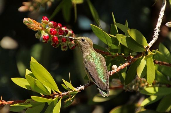 An Anna Hummingbird perched near the not quite open bottlebrush flower.