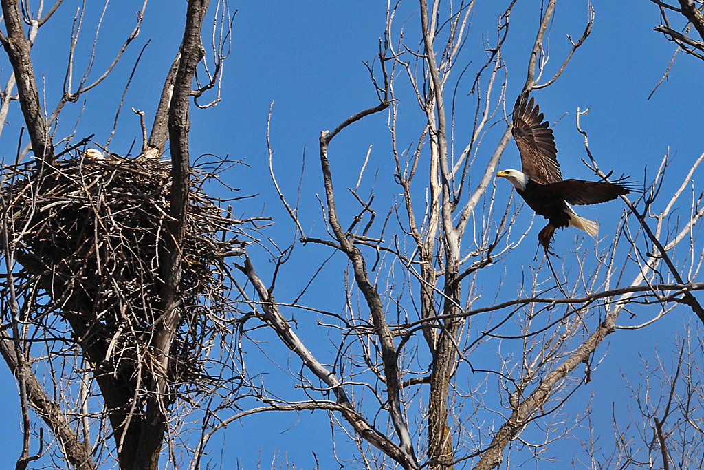 eagle nest | Back Yard Biology