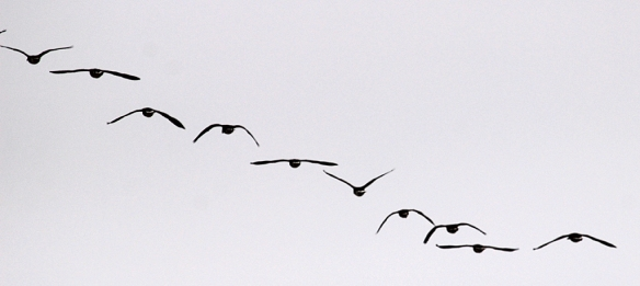 Wing beats are fairly well synchronized in this shot of Canada Geese flying overhead.  Only the bird in the middle of this flock has its wings in the upward position, but I have no idea which bird was leading this group.
