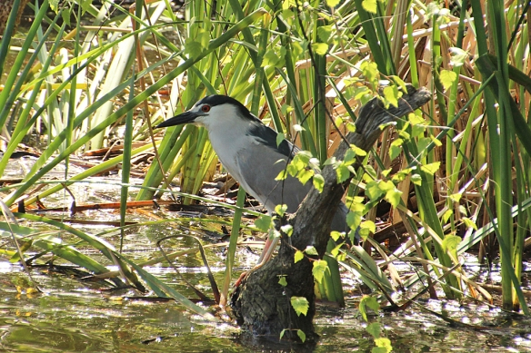 Black-crowned Night Herons hid in the emerging cattails and yellow iris during their morning hunt.