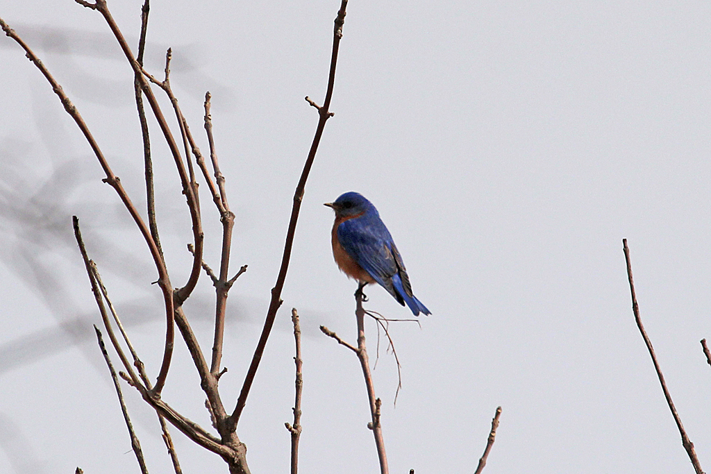 A poorly lit subject without direct sunlight on his blue back looks a little dull gray.
