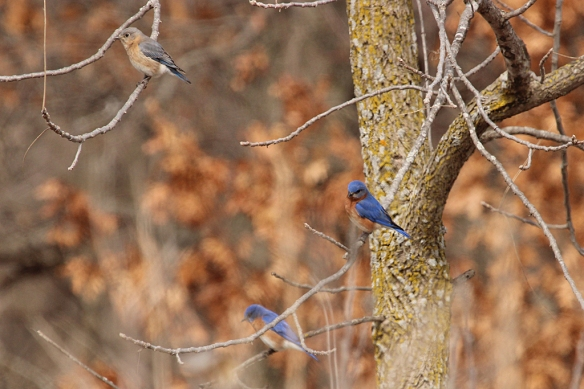 Some males are bluer than others, and the females have paler rusty breast feathers and much less blue in their wing and tail feathers.