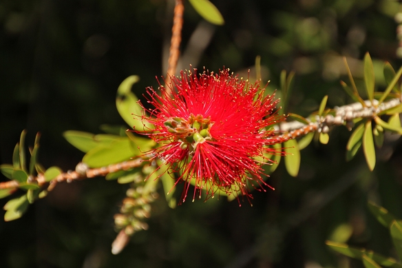 Cylindrical, brush-like flowers develop on a long raceme in this eucalyptus relative that is endemic to Australia.