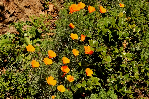 You know it's spring when you see wild poppies growing along the side of the road.
