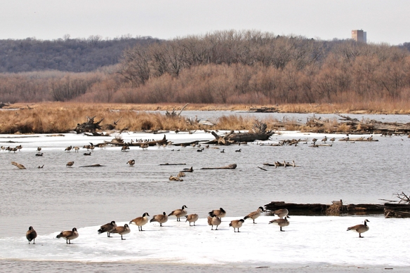 A large flock of Canada Geese, as well as a dozen different species of ducks rested on this stretch of the Mississippi River, waiting for the next weather front to move them north.