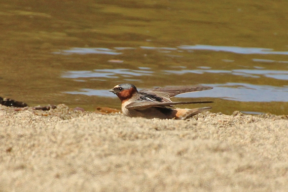 A Cliff Swallow loading up with a mouthful of lake mud