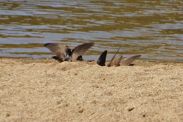 A half dozen swallows converged on one spot to harvest the best mud.