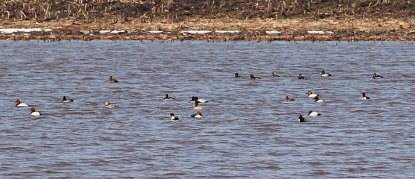 Canvasback, Bufflehead, and Ring-necked Ducks rested and preened themselves in late morning sun on this farm pond.