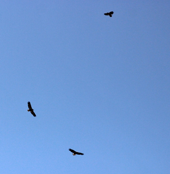 Two eagles and a hawk glide effortlessly in circles on the rising thermal currents as air heats up in the morning.