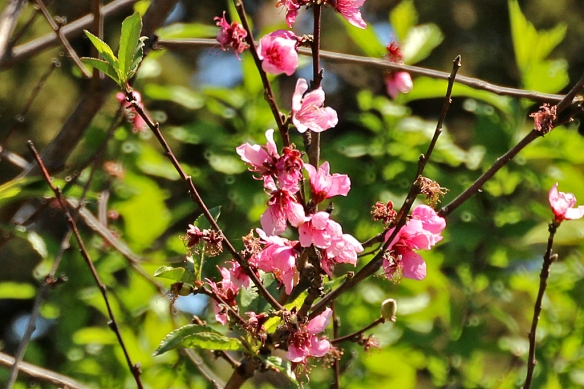 The bees were busily pollinating the peach three, and I thought a photo of a hummingbird surrounded by pink peach blossoms would look great.