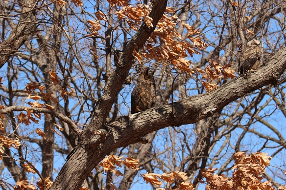 I spotted the female sitting in an oak about 100 yards from the nest , dozing in the sun.
