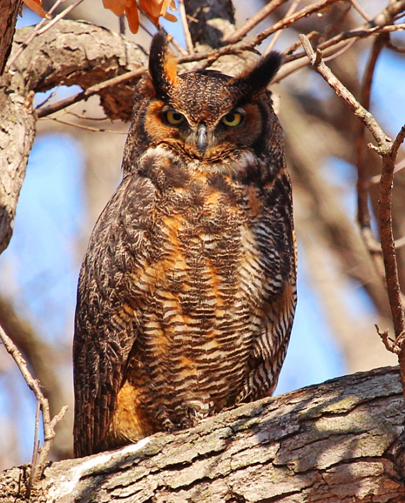 Great Horned Owl plumage is variable in color from tawny browns to grayish hues, but the color pattern of the feathers camouflages them very well against an oak tree background.