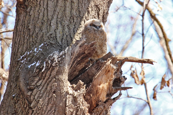 A lone owlet sits on the most well-photographed owls nest in the Twin Cities.