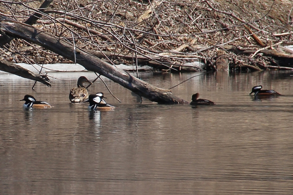 Areas around fallen logs seemed especially good hunting grounds for these small divers.