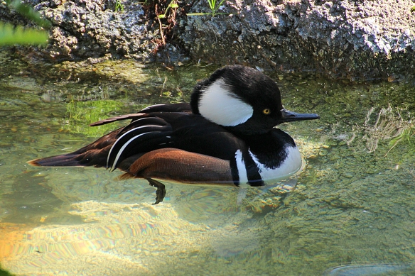 I love the striking colors and black and white contrasts of this little duck.  (This photo is actually from the New Orleans zoo; I have never been lucky enough to get this close to a wild bird.)