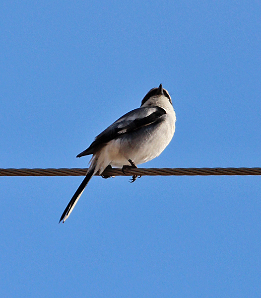 A Loggerhead Shrike perched on the opposite side of the road from me, but was so small and so far above me that I couldn't really see his head.  They are a little smaller than a robin.