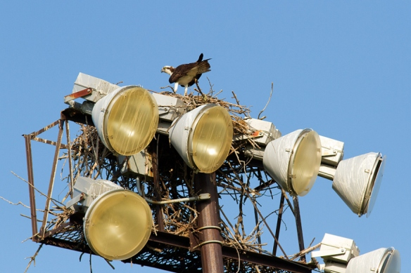 The birds will even use a tall pole that doesn't have a flat nesting platform, like the lights for a baseball field.