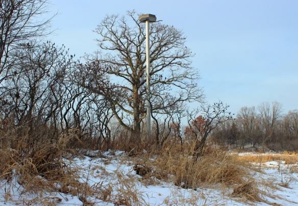 Even though this osprey tower sits next to a rather tall tree, it lacks wide enough branches near its crown to support an osprey nest