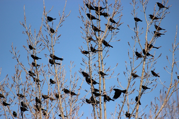 The din from the chorus of a hundred or so Red-winged Blackbird males was incredibly loud.
