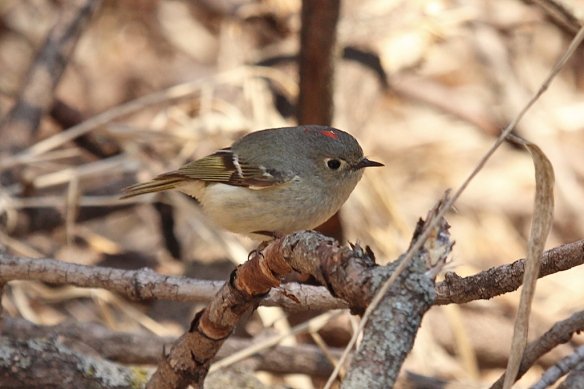 Kinglets look like a warbler, but smaller, and have a distinctive white circle of feathers around their eyes and a distinctive white band of feathers on their wings.