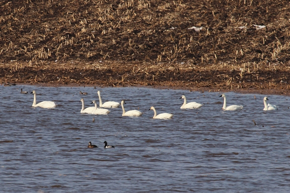 Tundra Swans and Ring-necked Ducks congregated at the far end of this flooded low spot in a huge field of corn stubble.