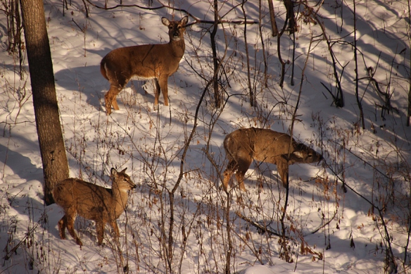 In January, the does and her two fawns looked much healthier than they do now.