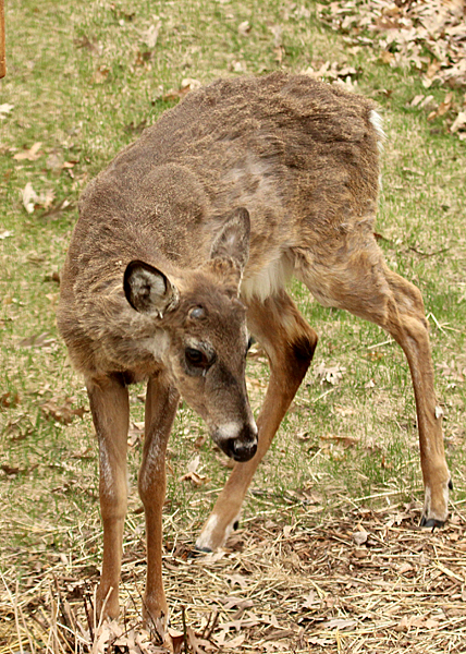 The doe gave this guy a head butt and a nip to move him away from where she was feeding, so he explored the area under the bird feeder.