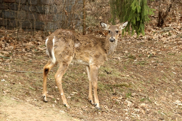 I think this sad-looking creature might be one of the twins born last spring.  The little antler buds present means he'll grow his first set of antlers, if he recovers from the starvation it looks like he has been suffering.