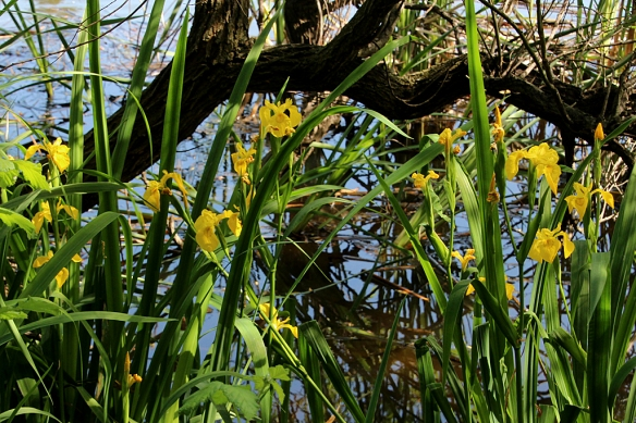 Bright yellow iris bloomed all along the shoreline of Lake Temescal.