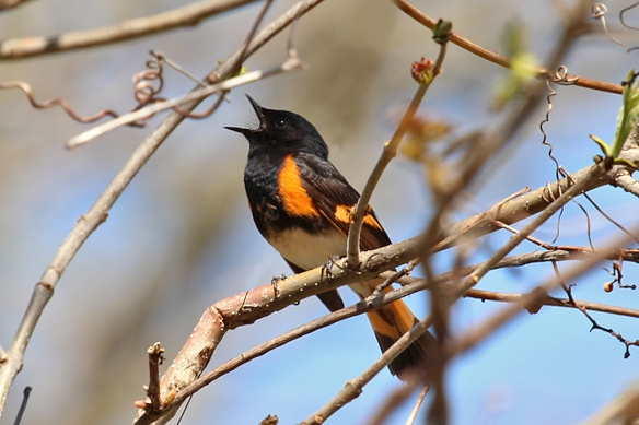 This was one of the combatants, proudly defending his small stretch of trees from other singing males.