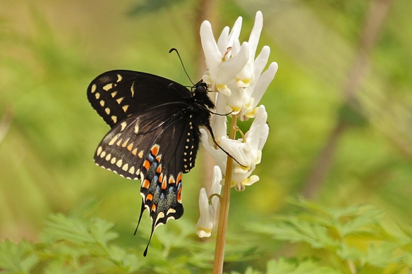 Black Swallowtail butterflies also have a long enough proboscis to reach the floral nectar, as this