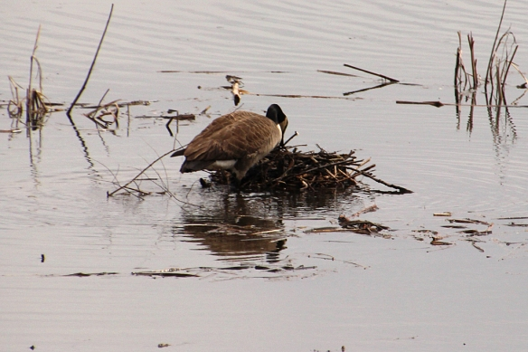This Canada Goose has added sticks, cattail heads, and a few other random objects to her nest which is  just barely above the water.