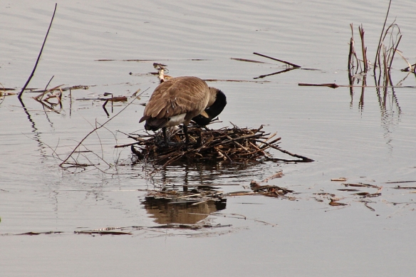 Next the goose plucks some down from beneath its breast feathers to line the nest.  It can't be very comfortable resting for hours on sharp, pointed sticks.