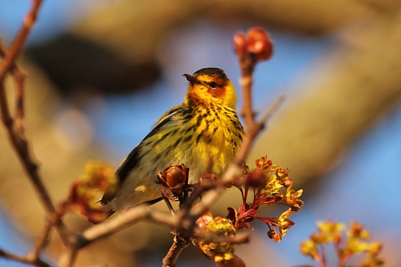 Cape May Warblers were named for the type specimen collected in Cape May, New Jersey, through which they migrate.