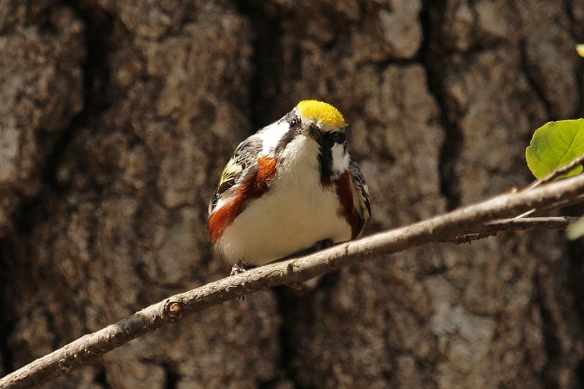Chestnut-sided Warblers have brilliant golden yellow helmets.
