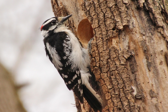 This downy woodpecker male dug out this perfectly round hole and was busy removing wood from the interior.  He was still there working when we walked by him 20 minutes later.