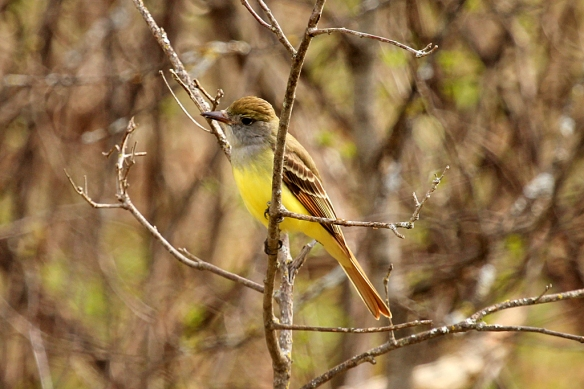 Great Crested Flycatchers are not only larger than most other flycatchers but show off their lemon yellow bellies.