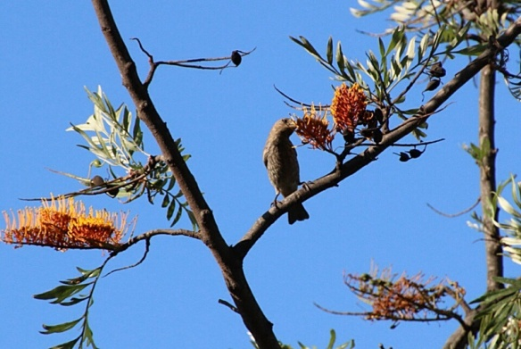 A female House finch delicately sampled the gooey flowers.