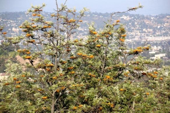 Silky Oak, Grevillea robusta