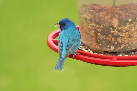 This Indigo buntingis as bright blue as his cousin the Cardinal is red.  At least they have the bright colors in common.    Buntings are probably the smallest member of the Cardinal family, and sing a much prettier song than Cardinals do.