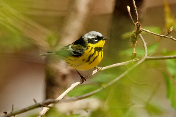 A Magnolia Warbler lights up the green foliage he tries to hide in with his yellow breast.