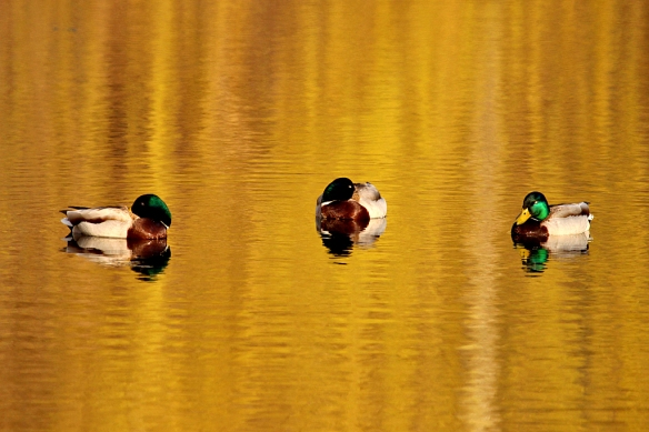 This trio of bachelor mallards enjoyed the quiet end of the day.  I suppose their hens are sitting on eggs now, leaving the guys with nothing to do but bask in the late evening sun.