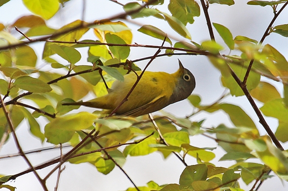 Nashville Warblers comb the underside as well as the topside of the foliage.