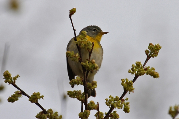 The female Northern Parula Warbler shows off an unusually rich yellow throat color.